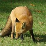 gallery-n-fox